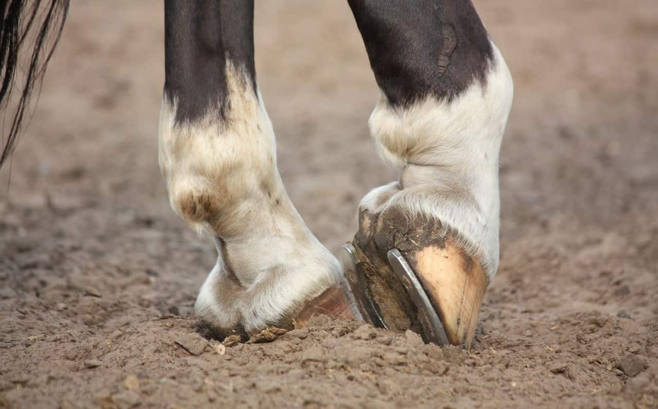 How To Cure Thrush In Horses