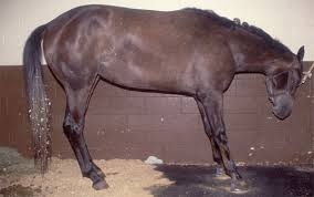 Horse With Laminitis