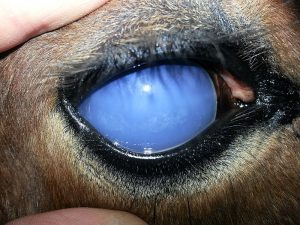Moon Blindess In Horses - Equine Recurrent Uveitis